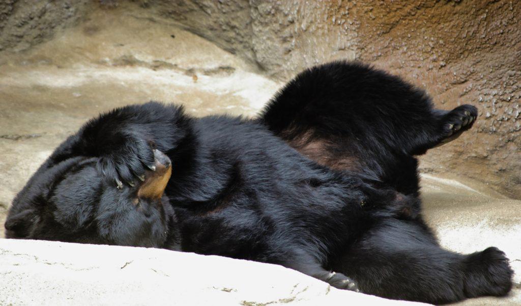 Face-Palming Bear